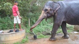 SIGIRIYA, SRI LANKA - FEBRUARY 2014: Elephant spraying itself with water. These old working elephants retire to working with tourists.