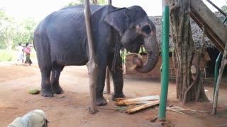 SIGIRIYA, SRI LANKA - FEBRUARY 2014: View of an elephant eating banana trunk in Sigiriya. These old elephants are retired from log working and converted to amusing tourists.