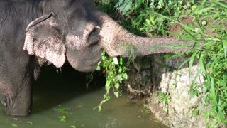 SIGIRIYA, SRI LANKA - FEBRUARY 2014: View of an elephant standing in a stream and eating plant. It�۪s common practice to refresh elephants after a day�۪s work in the fields.
