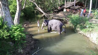 SIGIRIYA, SRI LANKA - FEBRUARY 2014: View of an elephant standing in a stream and eating plants. It�۪s common practice to refresh elephants after a day�۪s work in the fields.