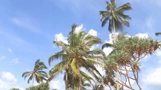 Sky view of palm trees in the light wind and clouds passing by.