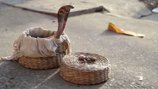 Snake coming out from a basket at street in Varanasi.