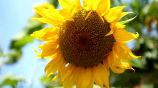 Sunflower in sun, closeup.