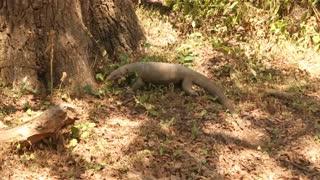 The view of a big lizard in Yala National Park, Sri Lanka.