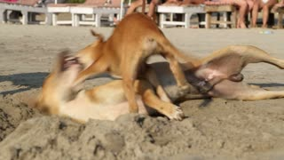 Three dogs playing in sand at beach in Goa.