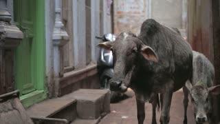 Two cows in narrow street in Varanasi.