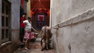 VARANASI, INDIA - 19 FEBRUARY 2015: Man finishing cow milking at street in Varanasi.
