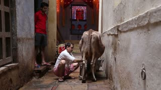 VARANASI, INDIA - 19 FEBRUARY 2015: Man milking a cow at street in Varanasi.