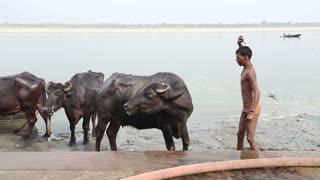 VARANASI, INDIA - 25 FEBRUARY 2015: Boy hitting cow at shore of Ganges river.