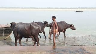 VARANASI, INDIA - 25 FEBRUARY 2015: Boy implying cows at shore of Ganges river.