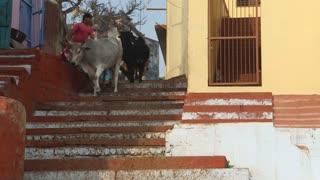 VARANASI, INDIA - 25 FEBRUARY 2015: Cows walking down the city stairs in Varanasi.