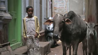 VARANASI, INDIA - 25 FEBRUARY 2015: Portrait of a school boy standing by two cows in narrow street in Varanasi.