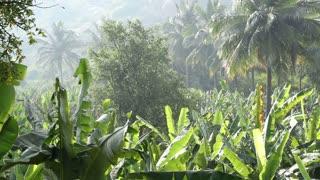View of beautiful untouched banana plantation in Hampi.