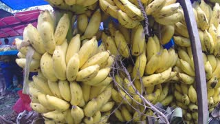 View of hanging juicy bananas at the local market in Sri Lanka.