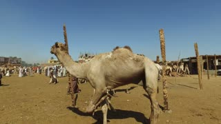 view of tied up camel at Camel market in Daraw, Egypt