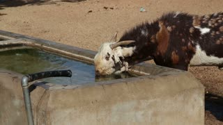 Young cow drinking water from outdoors washbasin at field in Jodhpur.