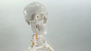 Anatomical Skeleton - Isolated Model on background -