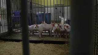 Pigs in a pen inside a barn