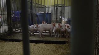 Pigs in a pen inside a barn
