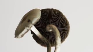 Psychedelic Drugs - Magic Mushrooms