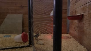 Steadicam shot of Ducks in a farming pen with a heat light