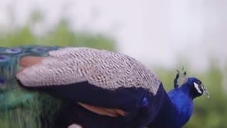 Peacock Slow Motion Walking Bright Plumage