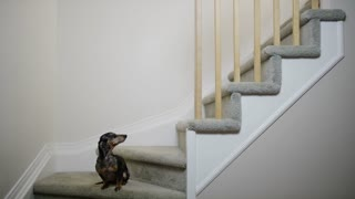 Small Dog Does Not Want To Go Up The Stairs