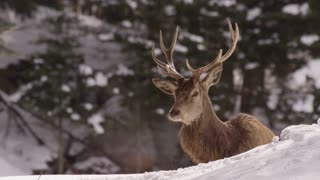 Wapiti Elk Looks Right At The Camera In Winter Forest