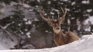 Wapiti Elk Zoom Out In Snow