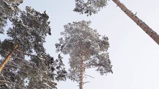 The Tops of the Pines Against the Sky/Winter. Snow-covered tops of the pine trees on a background of gray frost of the sky