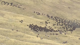 Circa October 22, 2016, Antelope Island - Bison being rounded up and pushed across the landscape by cowboys for an event in Utah.