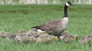 Mother Canada Goose with chicks walking and digging through the grass