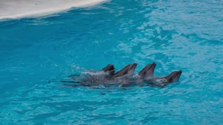 Dolphins Swim Each Other