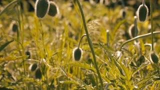 Field of unblown poppies
