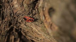 Firebug is Crawling on a Tree