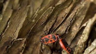 Firebugs Mating on a tree