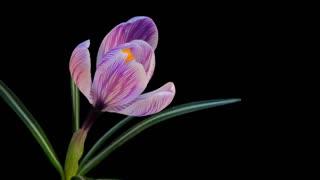 Flower Blooming Timelapse