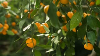 Fresh Tangerines on a tree
