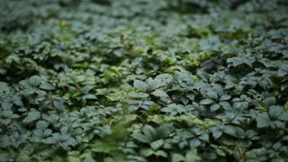 Groundcover Leaves in Forest