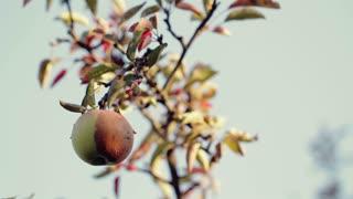 Half- Rotten Apple on a Tree
