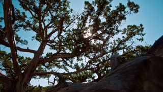 Juniper Tree And Sun