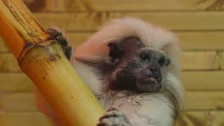 Little Decorotive Monkey in the zoo
