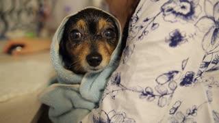 Little Dog After Bathing