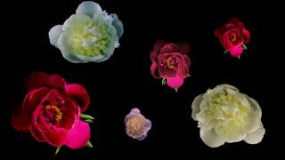 Many Peony Flowering Timelapse 4k