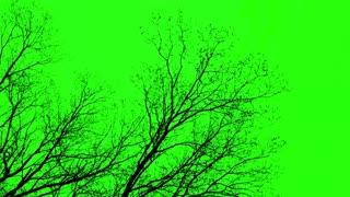 Naked Tree- Green Screen