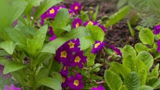 Purple Flowerd Petunia