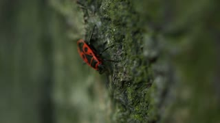 Red Beetle On A Tree