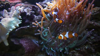 Two Nemo Clown Fish