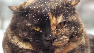 Angry hissing cat at winter