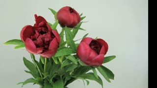 Bouquet of peonies blooming
